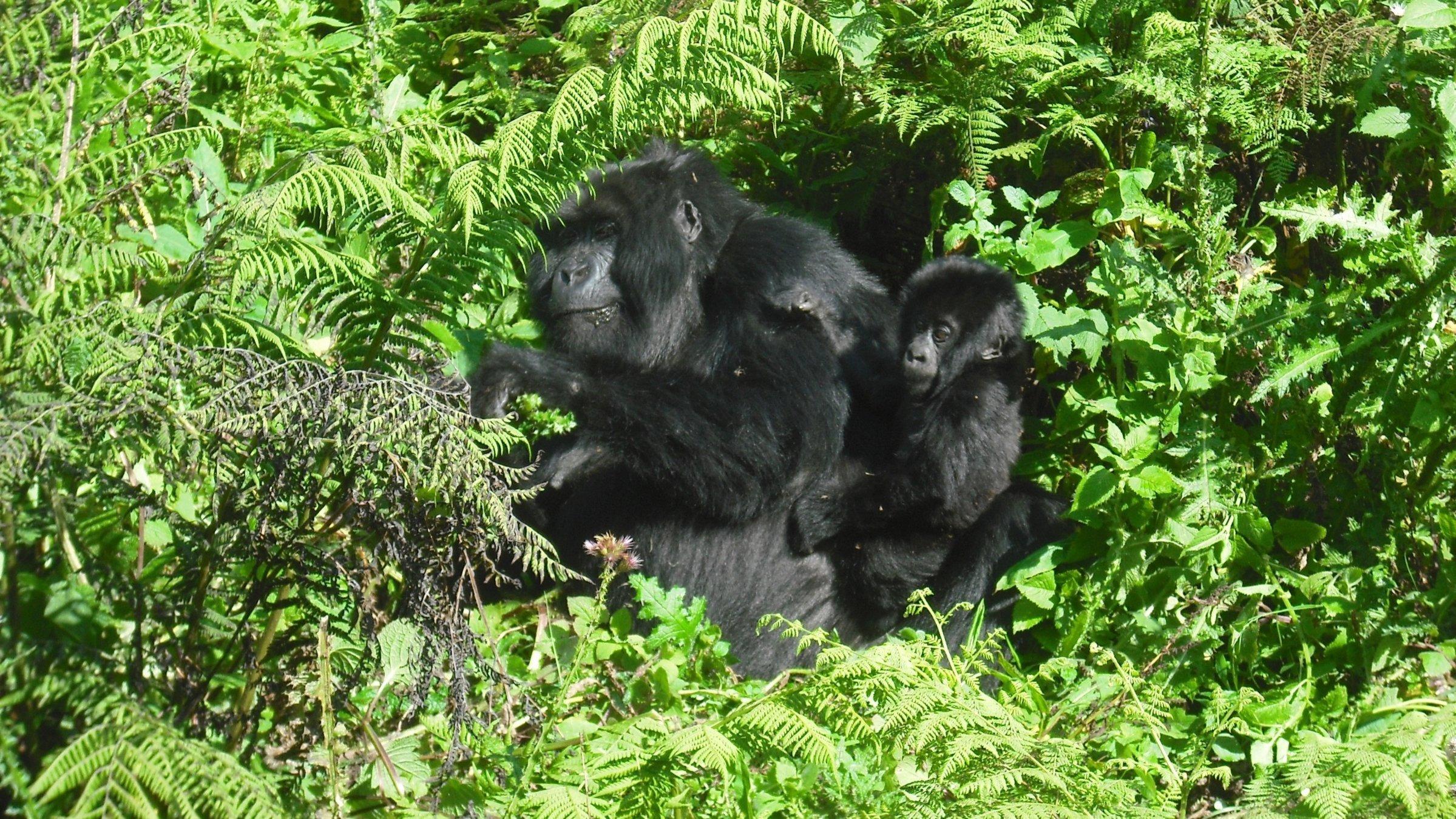 7-Day Luxury Gorilla Tracking and Wildlife - Uganda Itinerary